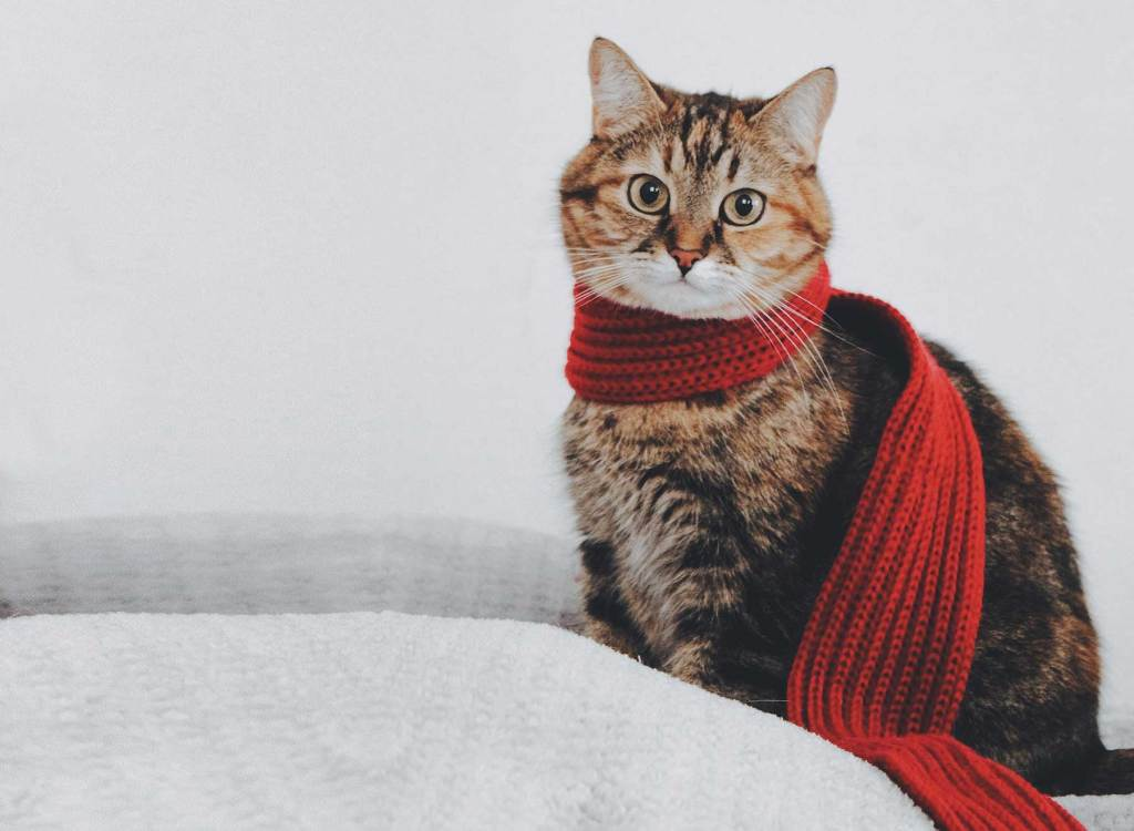 Cat sitting on a blanket wearing a scarf