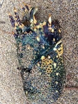 Spiny lobster shell?