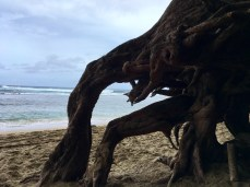 Beach roots at Ke'e