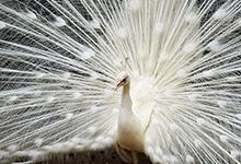 whitepeacock