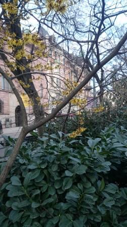 дерево зацвело уже в феврале в Стокгольме 1