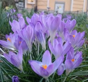 в стокгольме крокусы вовсю цветут уже в марте