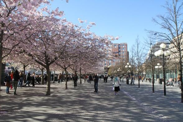цветущая сакура в парке Кунгстрегорден в Стокгольме