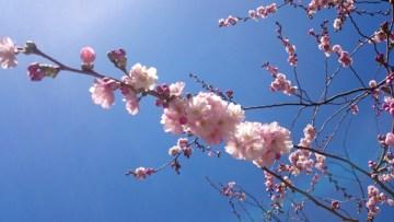 сакура в стокгльме цветет
