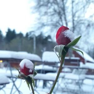 снег на розах в Стокгольме ноябрь 2016