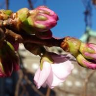 цветущая сакура в стокгольме
