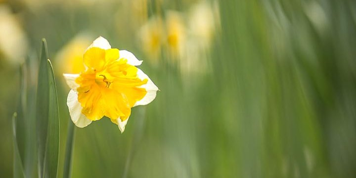 free stock image of narcissus in green field