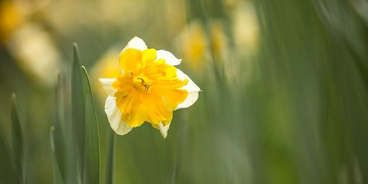 narcissus flower free stock image