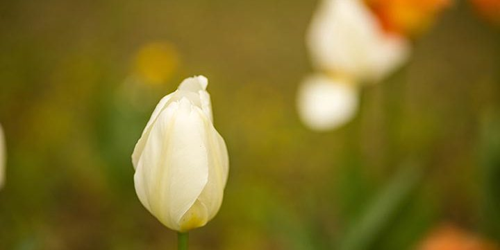white tulip flower free stock image