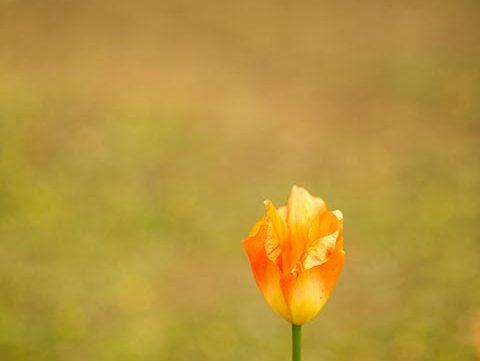 tulip flower free stock image