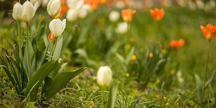tulip field full of flowers free stock image