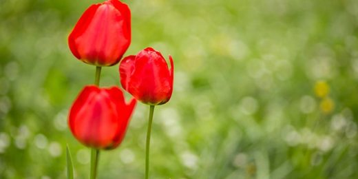 red tulips flowers free stock image