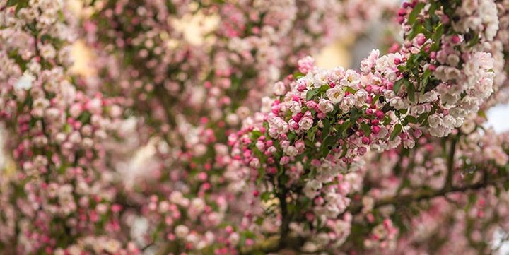 blooming spring flowers in tree free stock image