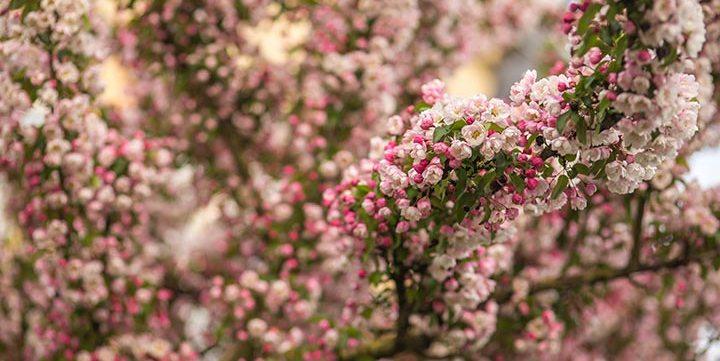 blooming spring flowers in tree free stock image