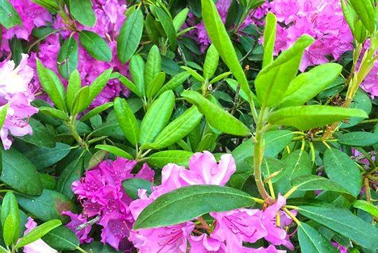 purple flowers in park free stock image