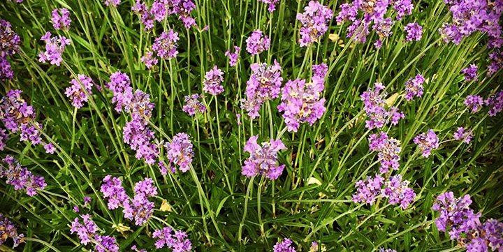 lavender flowers free stock image