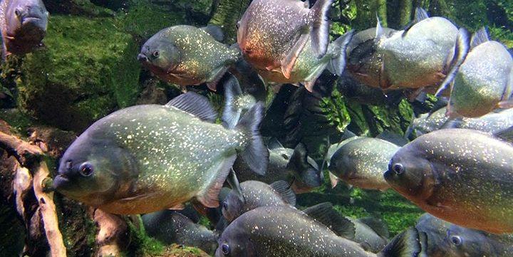 piranha free stock image