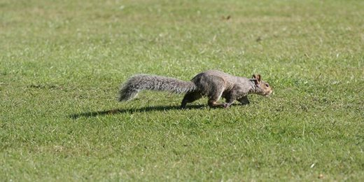 free stock image of grey squirrel