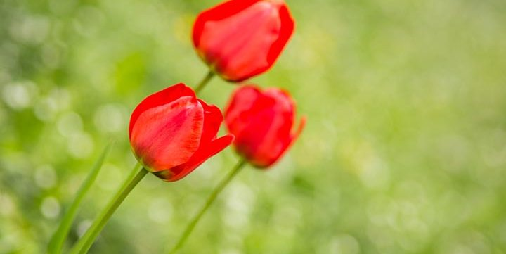 free stock image of red tulips