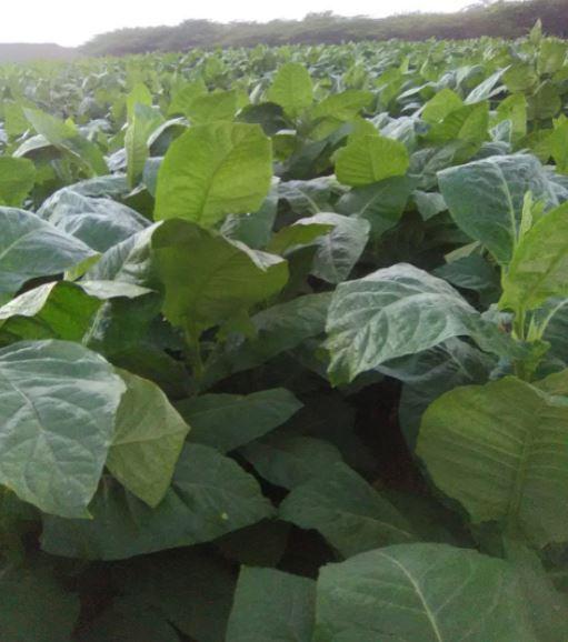 DBL Cigars Tobacco  Fields