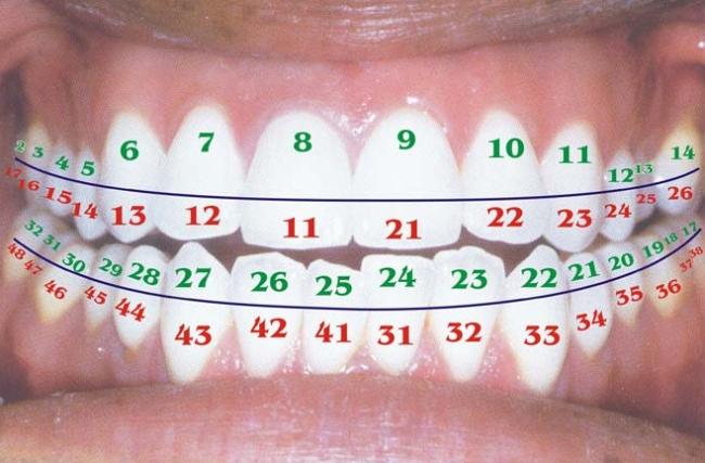 Зубы схема расположения у взрослых