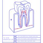 Анатомия зуба лайт