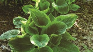 Hosta – Fances Williams #1