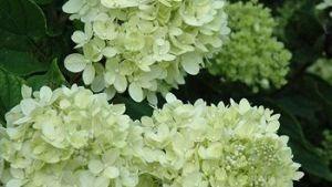 Hydrangea – Little Lime #2