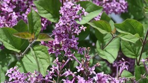 Lilac – Bloomerang Dark Purple #2