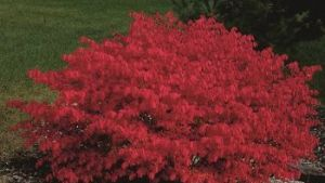 Burning Bush #5