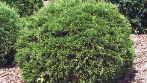 Arborvitae – Hetz Midget Globe #2