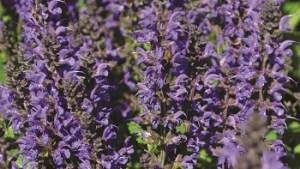 May Night Salvia #1