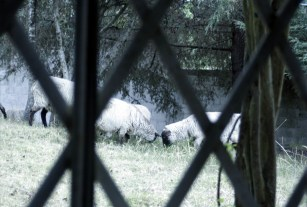 Sheep grazing outside my bedroom window