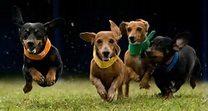 Puppy Races