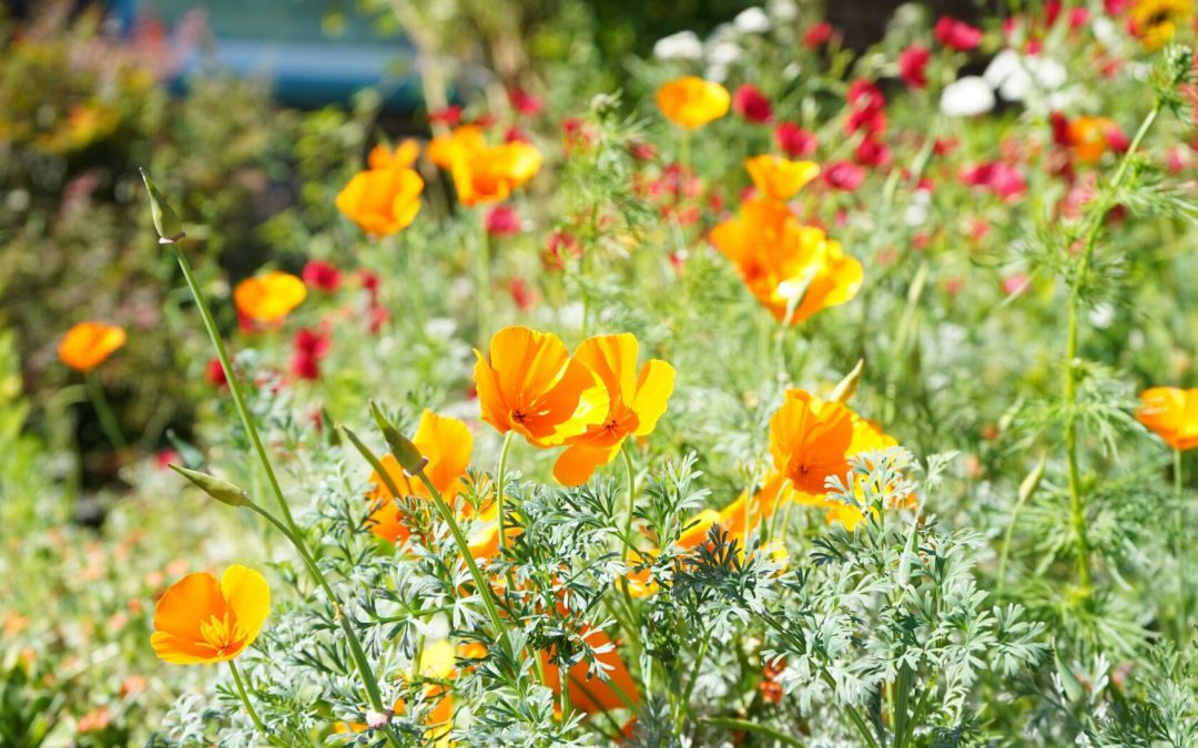 Landscaping With California Native Plants