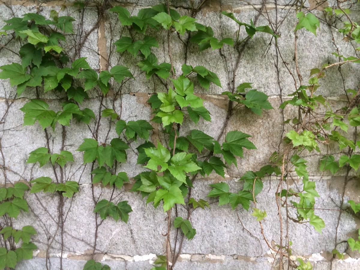Stone House with Ivy