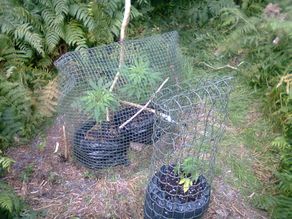 How to grow cannabis outside in the uk guerrilla growing for Easy to grow outdoor plants