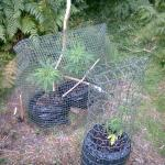 chicken wire cannabis