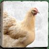Chicken Marble Coaster Flat