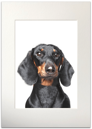 Dachshund Signed A4 Mounted Print