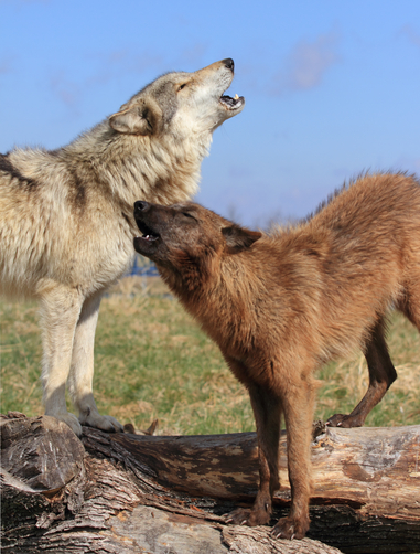Howling Good Time picture of wolves