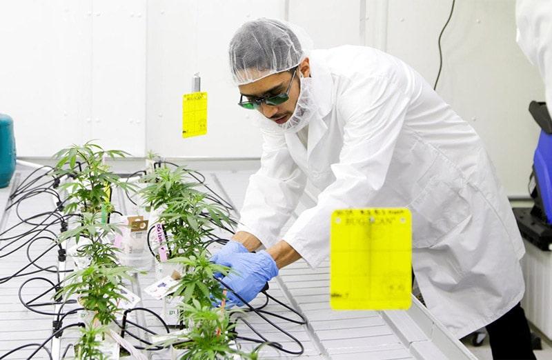 Marijuana scientist chemist