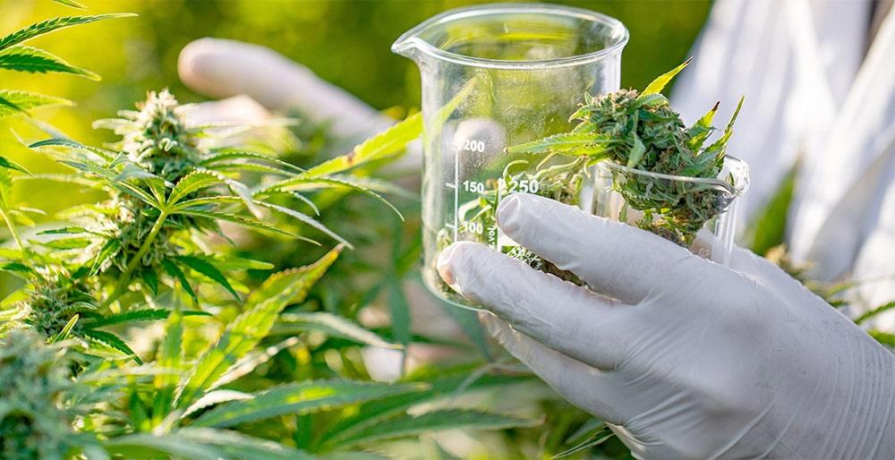 Cannabis Chemist