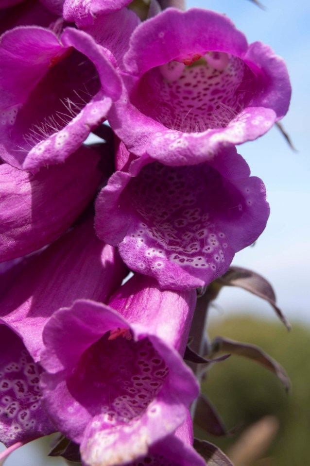 Close-up of a Foxglove