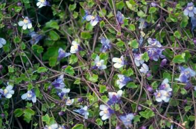 Ivy Leaf Todaflax