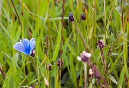 We think this is a male holly blue. The photo was taken walking around Stones Cottages.