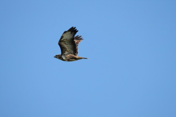 Bird spotting holidays at Stones Cottages. Buzzard
