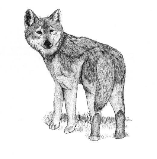 Enchantment of the Wolves wolf looking back