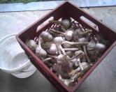 Garlic Before Popping