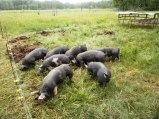 Busy pigs on fresh grass